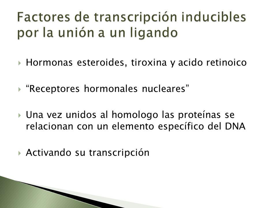 Hormonas esteroides, tiroxina y acido retinoico Receptores hormonales nucleares Una vez unidos al homologo las proteínas se relacionan con un elemento