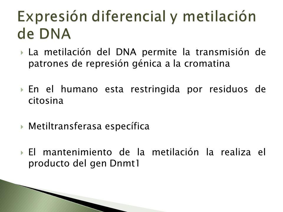 La metilación del DNA permite la transmisión de patrones de represión génica a la cromatina En el humano esta restringida por residuos de citosina Met