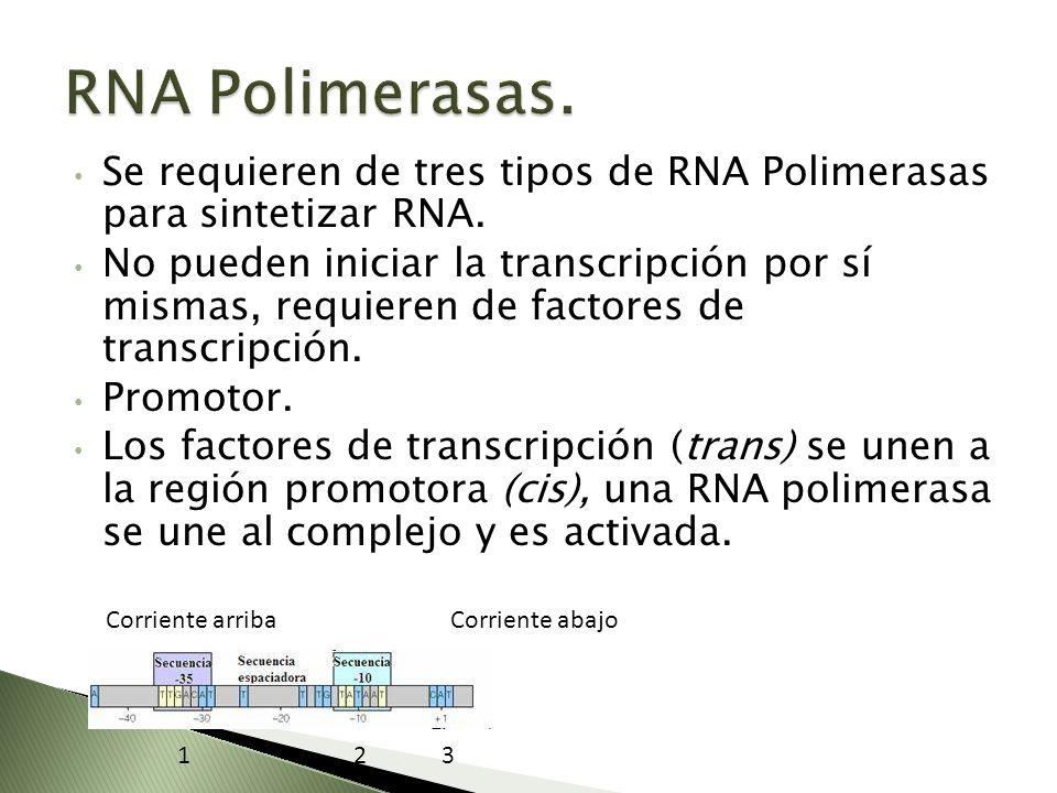 Se requieren de tres tipos de RNA Polimerasas para sintetizar RNA. No pueden iniciar la transcripción por sí mismas, requieren de factores de transcri
