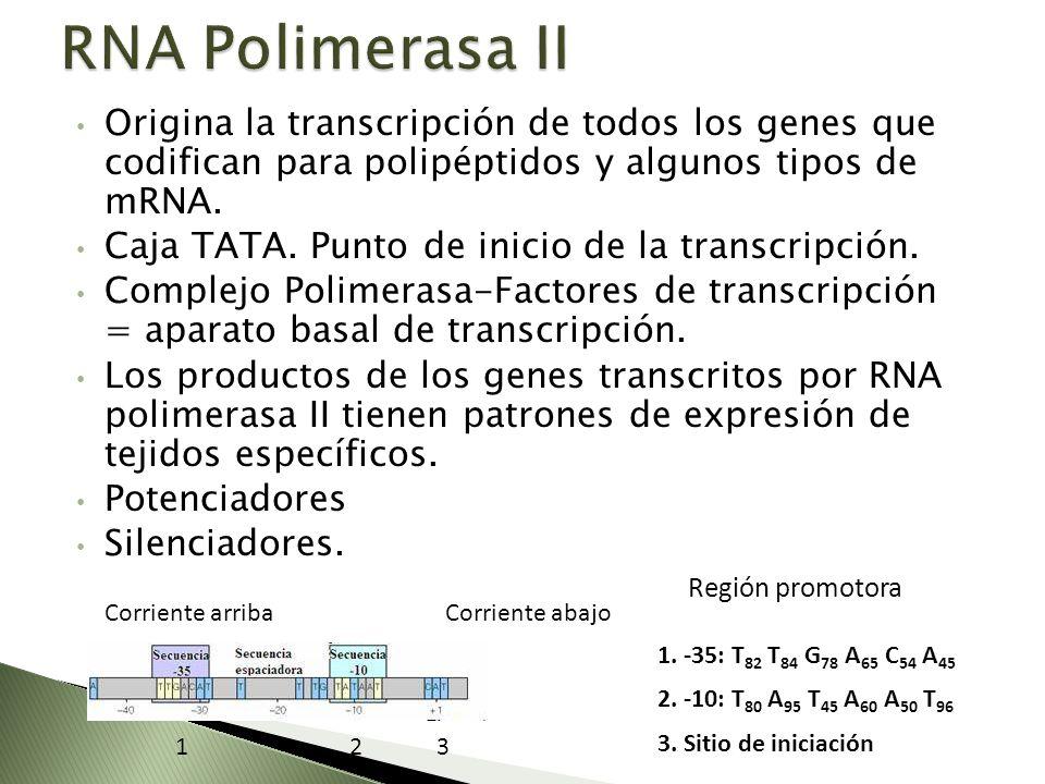 Origina la transcripción de todos los genes que codifican para polipéptidos y algunos tipos de mRNA. Caja TATA. Punto de inicio de la transcripción. C