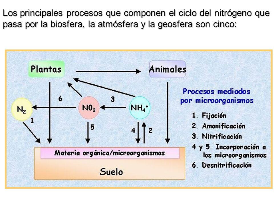 Los principales procesos que componen el ciclo del nitrógeno que pasa por la biosfera, la atmósfera y la geosfera son cinco: