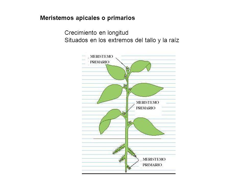 Meristemos apicales o primarios Crecimiento en longitud Situados en los extremos del tallo y la raíz