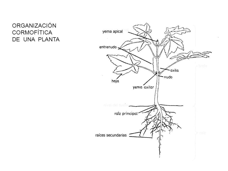 ORGANIZACIÓN CORMOFÍTICA DE UNA PLANTA