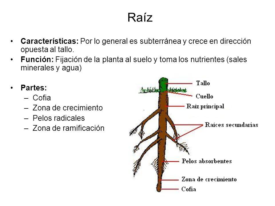 Raíz Características: Por lo general es subterránea y crece en dirección opuesta al tallo. Función: Fijación de la planta al suelo y toma los nutrient