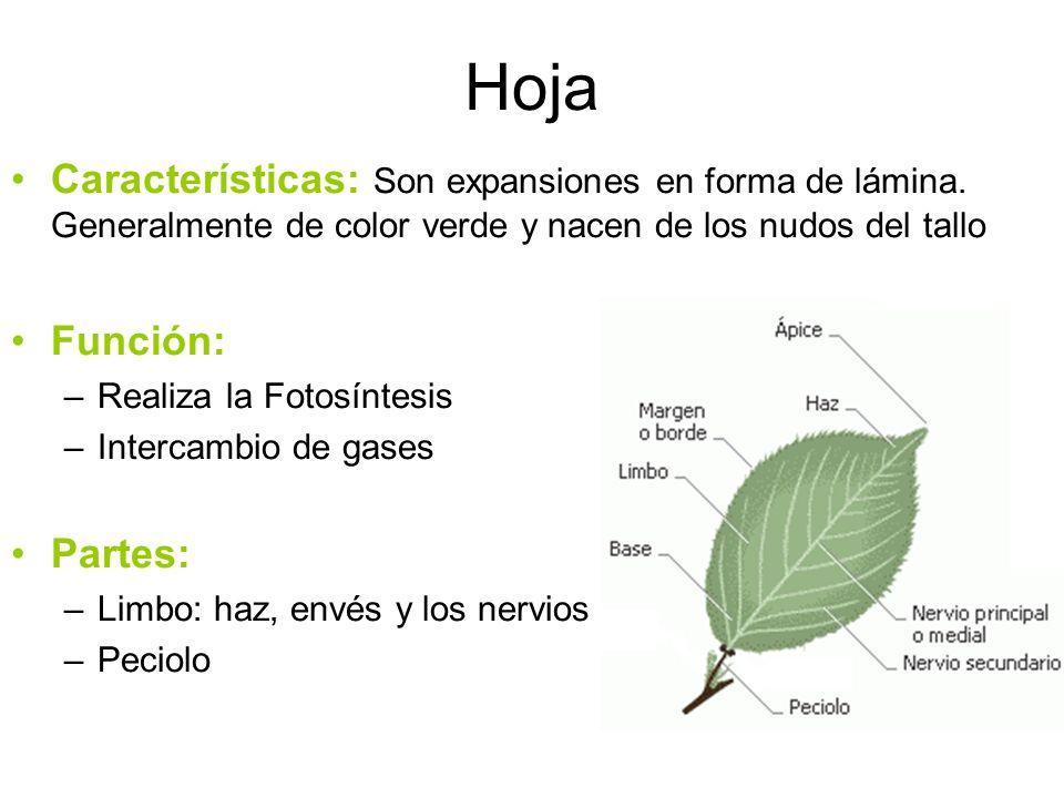 Hoja Características: Son expansiones en forma de lámina. Generalmente de color verde y nacen de los nudos del tallo Función: –Realiza la Fotosíntesis