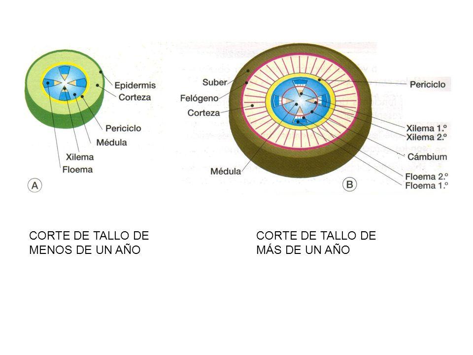 CORTE DE TALLO DE MENOS DE UN AÑO CORTE DE TALLO DE MÁS DE UN AÑO