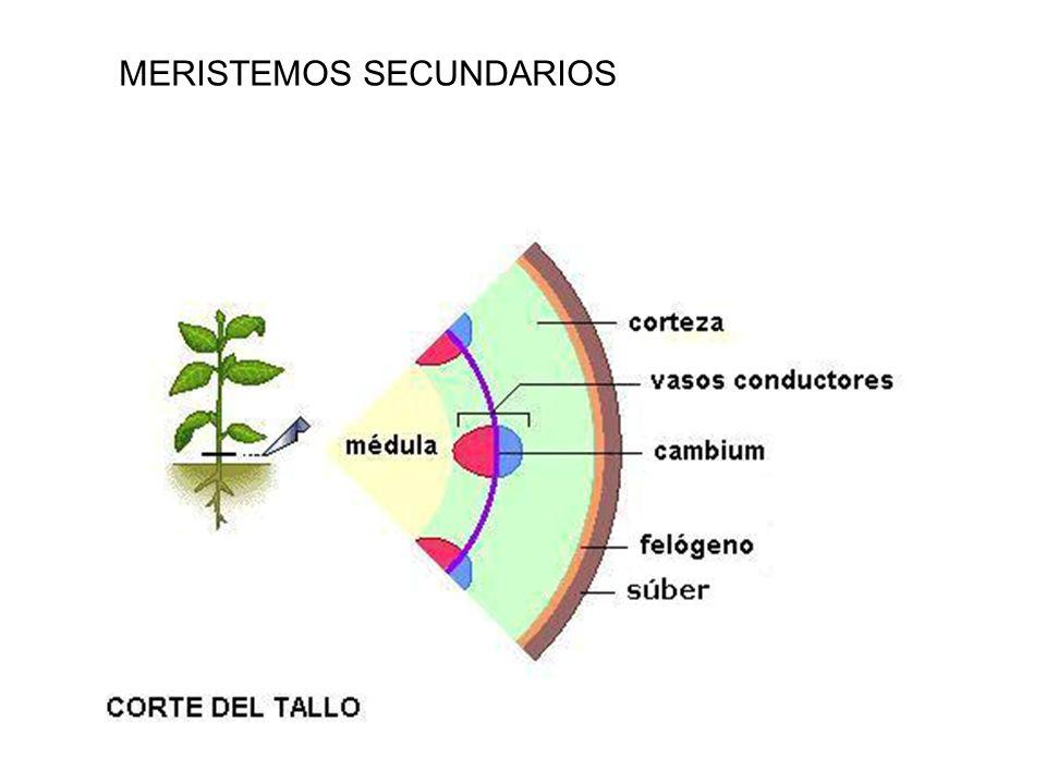 Corte transversal de un tallo Meristemos secundarios Crecimiento en grosor.