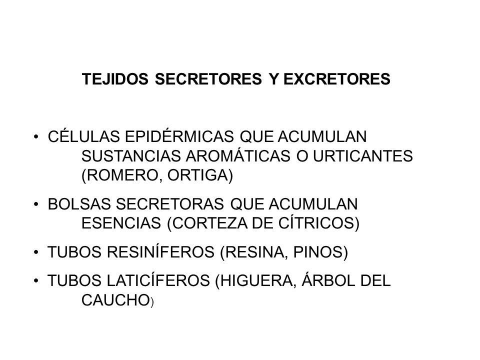 TEJIDOS SECRETORES Y EXCRETORES CÉLULAS EPIDÉRMICAS QUE ACUMULAN SUSTANCIAS AROMÁTICAS O URTICANTES (ROMERO, ORTIGA) BOLSAS SECRETORAS QUE ACUMULAN ES