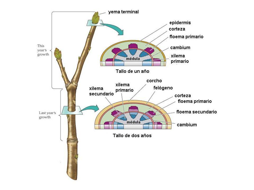 Raíz Características: Por lo general es subterránea y crece en dirección opuesta al tallo.