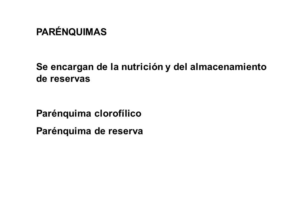 PARÉNQUIMAS Se encargan de la nutrición y del almacenamiento de reservas Parénquima clorofílico Parénquima de reserva