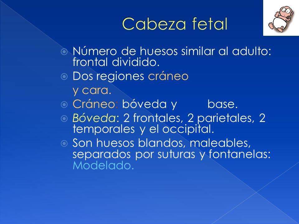 Número de huesos similar al adulto: frontal dividido. Dos regiones cráneo y cara. Cráneo: bóveda y base. Bóveda: 2 frontales, 2 parietales, 2 temporal
