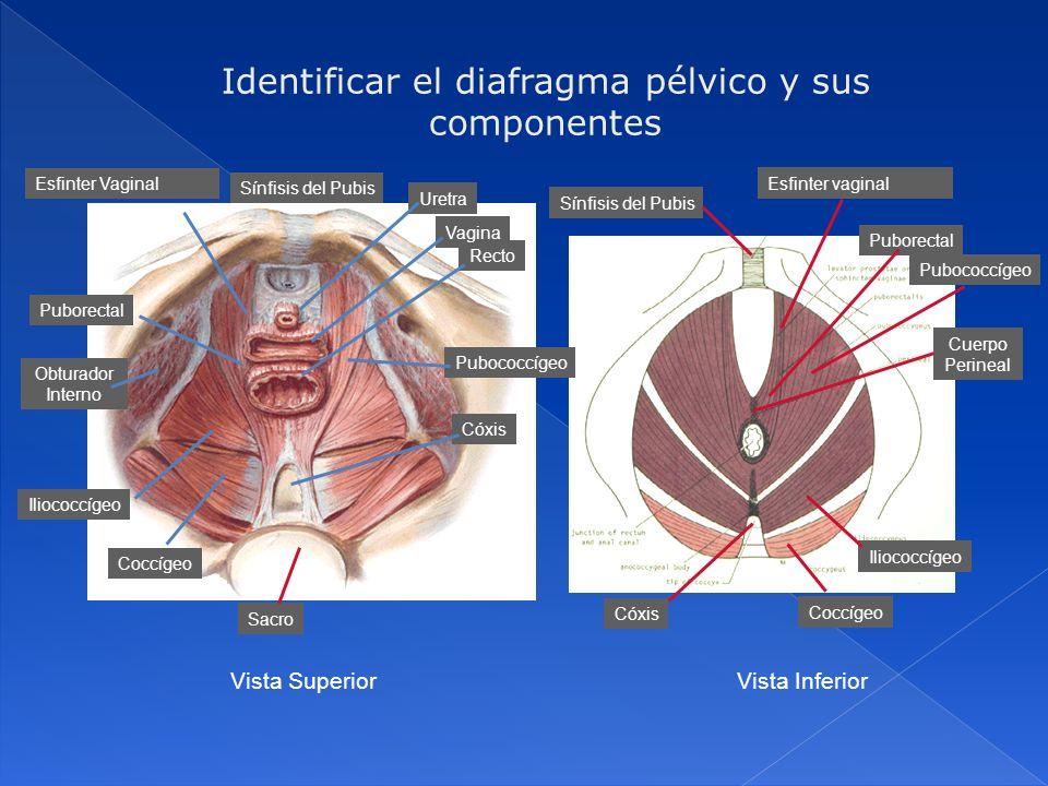 Identificar el diafragma pélvico y sus componentes Sacro Sínfisis del Pubis Uretra Recto Obturador Interno Cóxis Sínfisis del Pubis Esfinter vaginal P