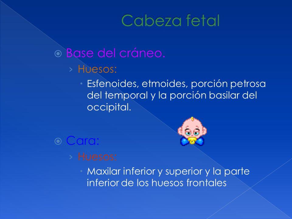 Formada por 4 huesos: dos coxales (iliacos), sacro y coxis.