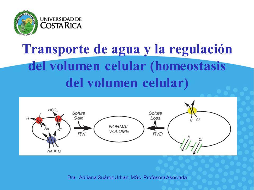 32 Adaptación a perturbaciones a largo plazo del volumen celular Cambios en transcripción de genes osmoreguladores: codifican proteínas involucradas en captura y síntesis de osmolitos.