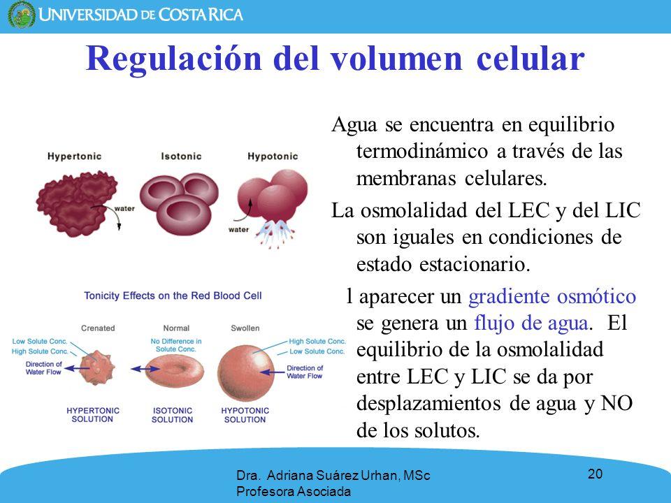 20 Regulación del volumen celular Agua se encuentra en equilibrio termodinámico a través de las membranas celulares. La osmolalidad del LEC y del LIC