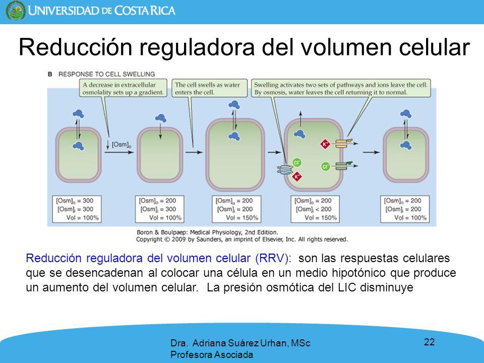 22 Dra. Adriana Suárez Urhan, MSc Profesora Asociada Reducción reguladora del volumen celular Reducción reguladora del volumen celular (RRV): son las