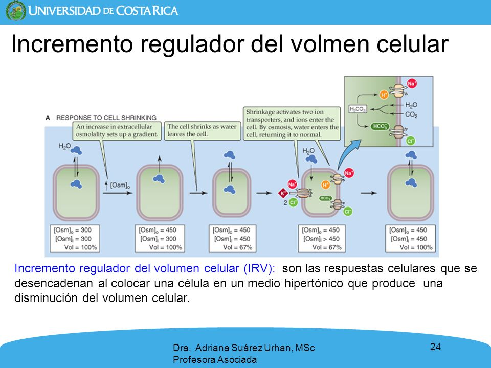 24 Dra. Adriana Suárez Urhan, MSc Profesora Asociada Incremento regulador del volumen celular (IRV): son las respuestas celulares que se desencadenan