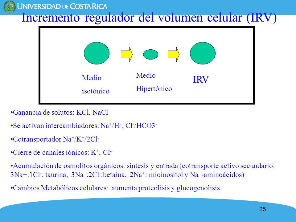 25 Incremento regulador del volumen celular (IRV) Ganancia de solutos: KCl, NaCl Se activan intercambiadores: Na + /H +, Cl - /HCO3 - Cotransportador