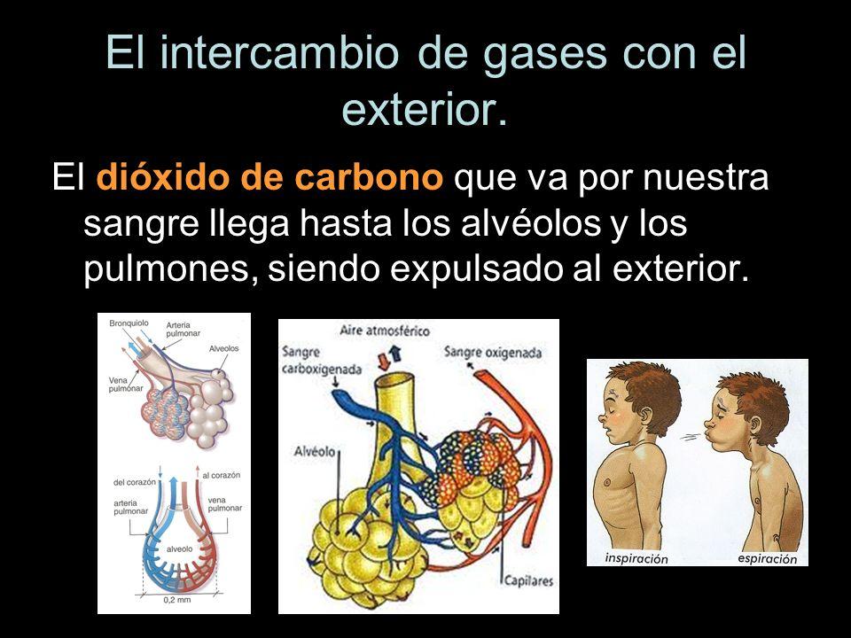 El intercambio de gases con el exterior. El dióxido de carbono que va por nuestra sangre llega hasta los alvéolos y los pulmones, siendo expulsado al