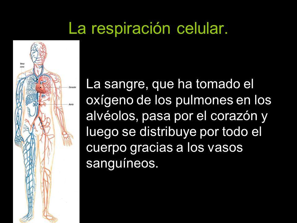 La respiración celular. La sangre, que ha tomado el oxígeno de los pulmones en los alvéolos, pasa por el corazón y luego se distribuye por todo el cue
