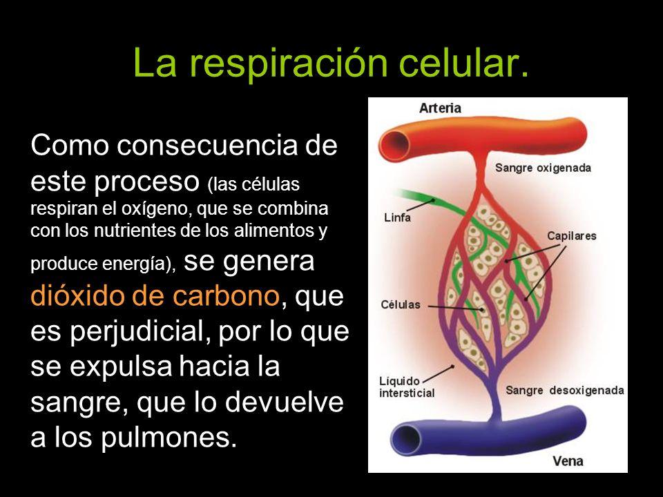 La respiración celular. Como consecuencia de este proceso (las células respiran el oxígeno, que se combina con los nutrientes de los alimentos y produ