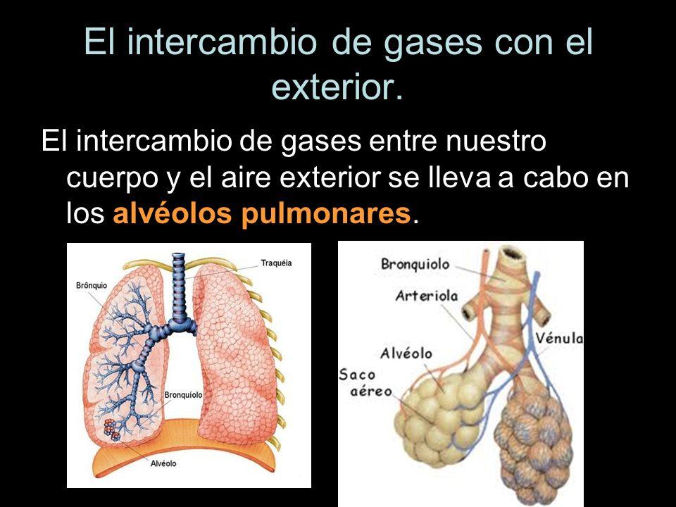 El intercambio de gases con el exterior. El intercambio de gases entre nuestro cuerpo y el aire exterior se lleva a cabo en los alvéolos pulmonares.
