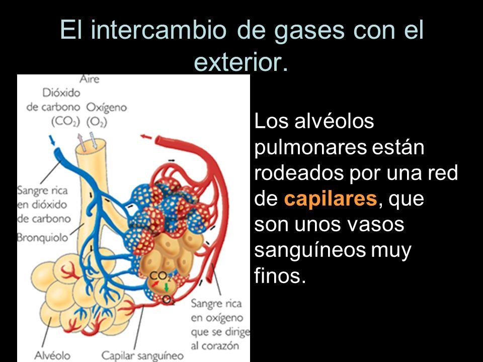 Los alvéolos pulmonares están rodeados por una red de capilares, que son unos vasos sanguíneos muy finos.