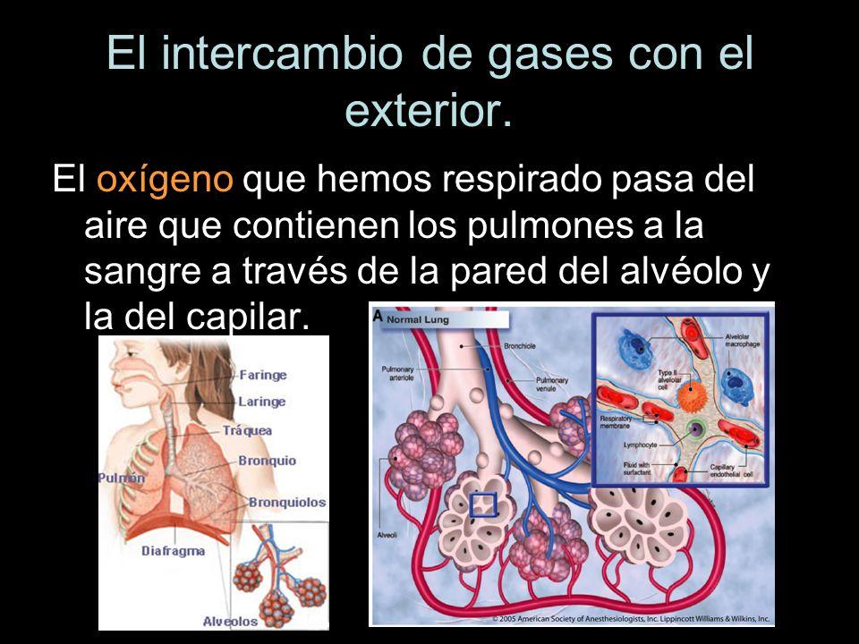 El oxígeno que hemos respirado pasa del aire que contienen los pulmones a la sangre a través de la pared del alvéolo y la del capilar.