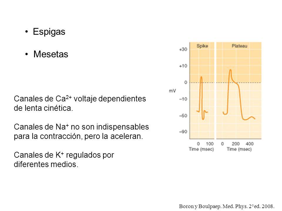 Espigas Mesetas Boron y Boulpaep. Med. Phys. 2°ed. 2008. Canales de Ca 2+ voltaje dependientes de lenta cinética. Canales de Na + no son indispensable