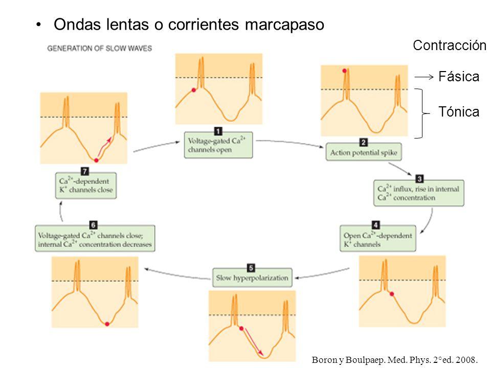 Ondas lentas o corrientes marcapaso Fásica Tónica Contracción Boron y Boulpaep. Med. Phys. 2°ed. 2008.