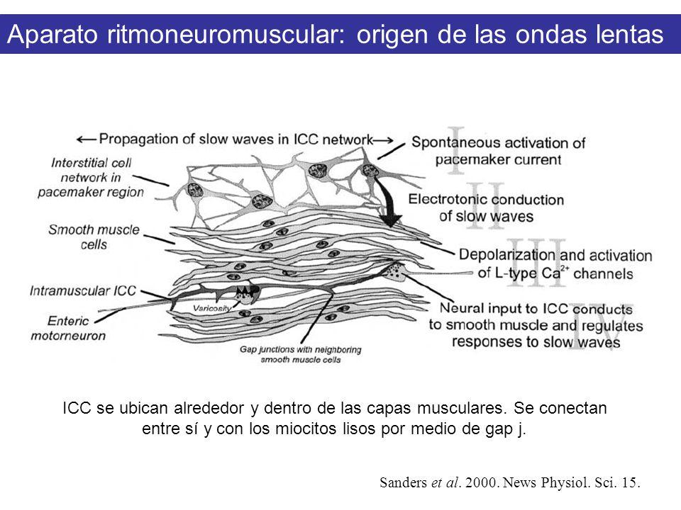 Sanders et al. 2000. News Physiol. Sci. 15. Aparato ritmoneuromuscular: origen de las ondas lentas ICC se ubican alrededor y dentro de las capas muscu