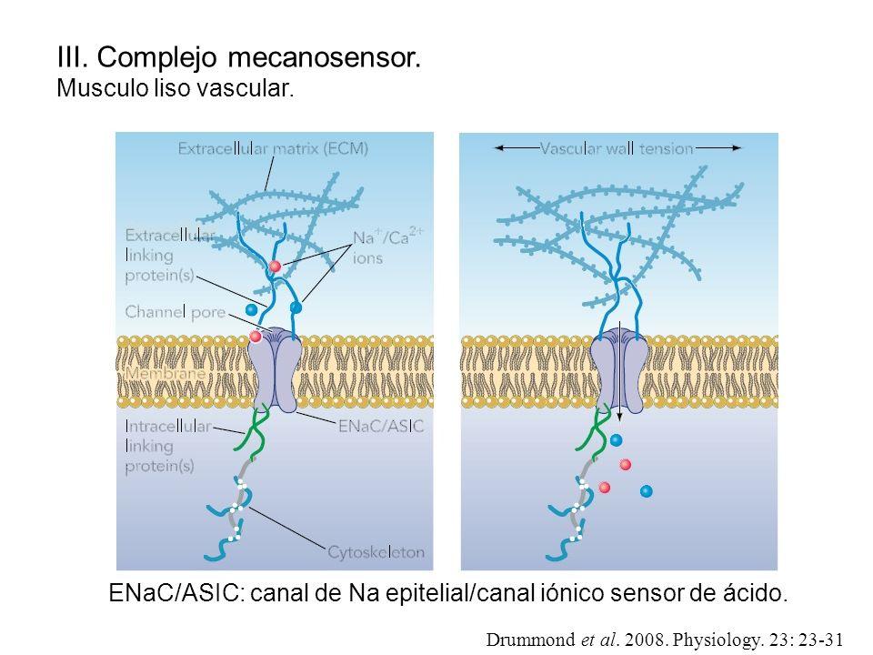 III. Complejo mecanosensor. Musculo liso vascular. Drummond et al. 2008. Physiology. 23: 23-31 ENaC/ASIC: canal de Na epitelial/canal iónico sensor de