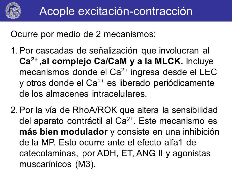 Acople excitación-contracción Ocurre por medio de 2 mecanismos: 1.Por cascadas de señalización que involucran al Ca 2+,al complejo Ca/CaM y a la MLCK.