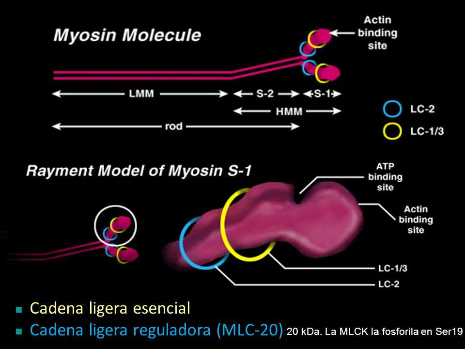 Cadena ligera esencial Cadena ligera reguladora (MLC-20) 20 kDa. La MLCK la fosforila en Ser19