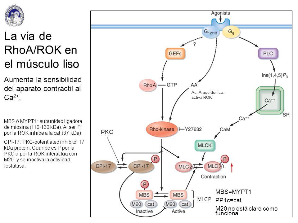 La vía de RhoA/ROK en el músculo liso Aumenta la sensibilidad del aparato contráctil al Ca 2+. MBS ó MYPT1: subunidad ligadora de miosina (110-130 kDa