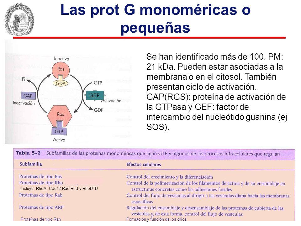 Las prot G monoméricas o pequeñas Se han identificado más de 100. PM: 21 kDa. Pueden estar asociadas a la membrana o en el citosol. También presentan