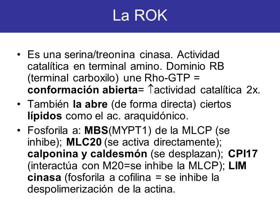 La ROK Es una serina/treonina cinasa. Actividad catalítica en terminal amino. Dominio RB (terminal carboxilo) une Rho-GTP = conformación abierta= acti