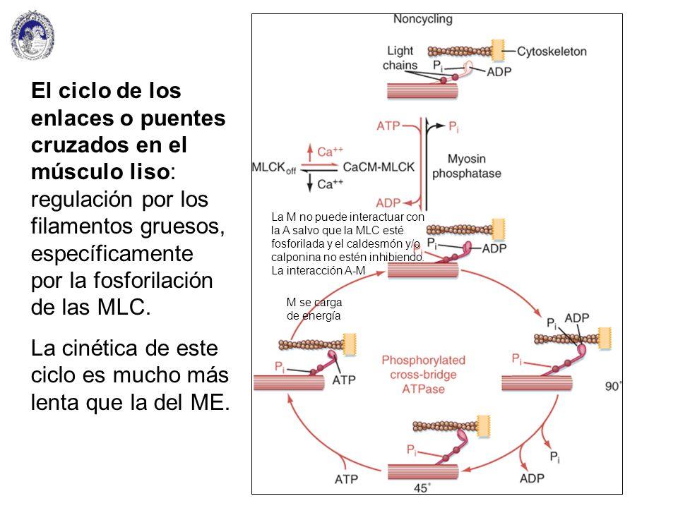 El ciclo de los enlaces o puentes cruzados en el músculo liso: regulación por los filamentos gruesos, específicamente por la fosforilación de las MLC.
