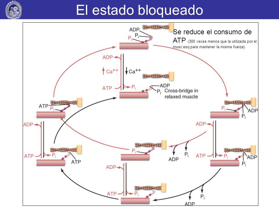 El estado bloqueado Se reduce el consumo de ATP (300 veces menos que la utilizada por el musc esq para mantener la misma fuerza).