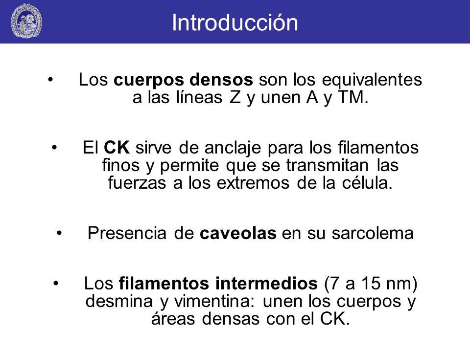 Introducción Los cuerpos densos son los equivalentes a las líneas Z y unen A y TM. El CK sirve de anclaje para los filamentos finos y permite que se t
