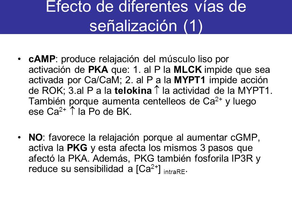 Efecto de diferentes vías de señalización (1) cAMP: produce relajación del músculo liso por activación de PKA que: 1. al P la MLCK impide que sea acti