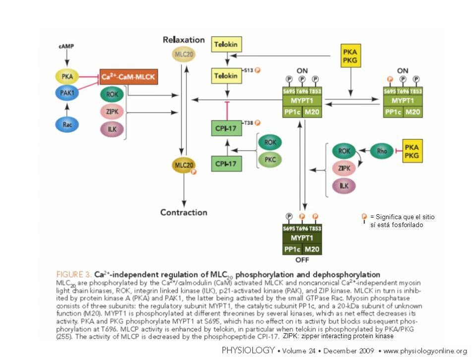 = Significa que el sitio sí está fosforilado ZIPK: zipper interacting protein kinase