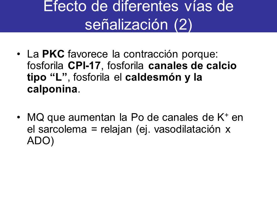 Efecto de diferentes vías de señalización (2) La PKC favorece la contracción porque: fosforila CPI-17, fosforila canales de calcio tipo L, fosforila e