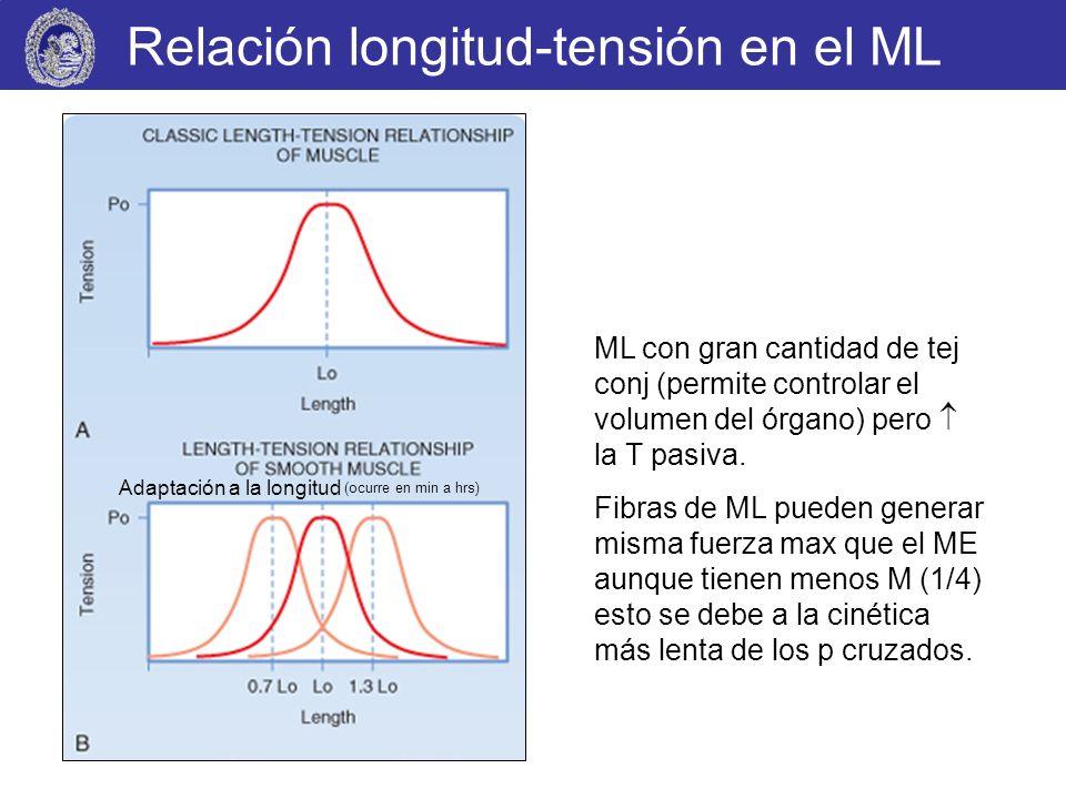 Relación longitud-tensión en el ML ML con gran cantidad de tej conj (permite controlar el volumen del órgano) pero la T pasiva. Fibras de ML pueden ge