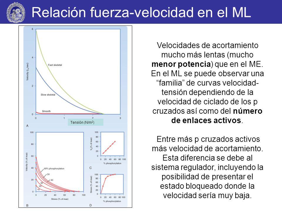 Relación fuerza-velocidad en el ML Tensión (N/m 2 ) Velocidades de acortamiento mucho más lentas (mucho menor potencia) que en el ME. En el ML se pued