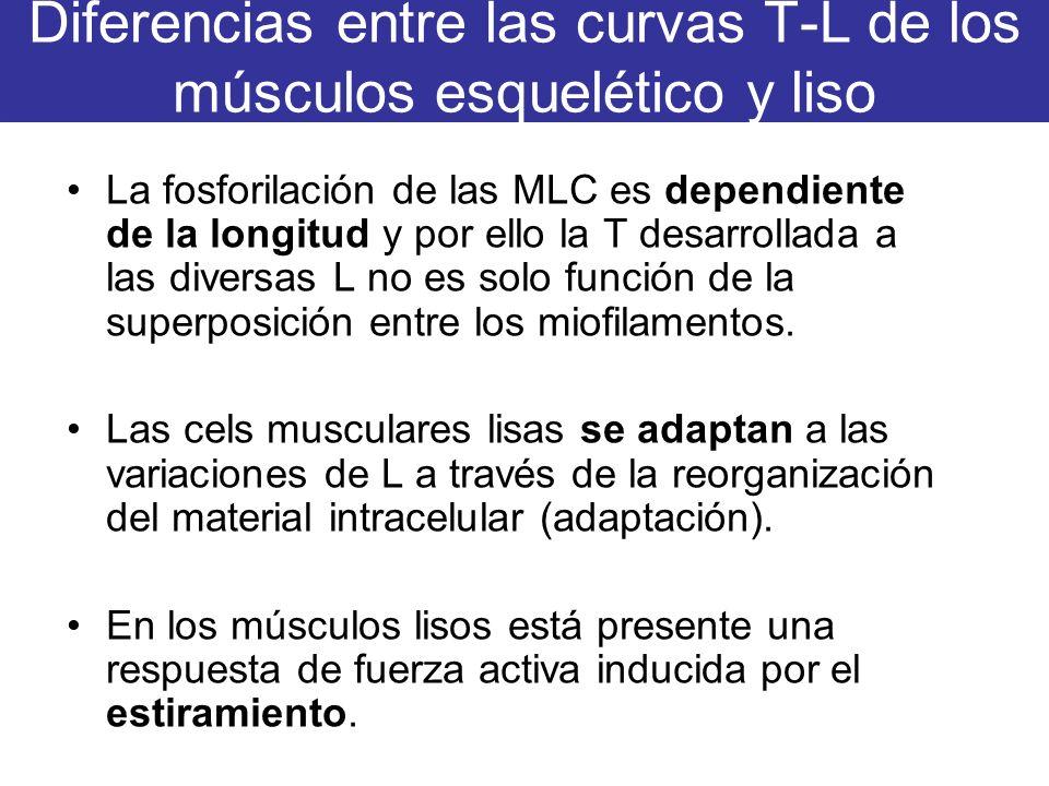 Diferencias entre las curvas T-L de los músculos esquelético y liso La fosforilación de las MLC es dependiente de la longitud y por ello la T desarrol