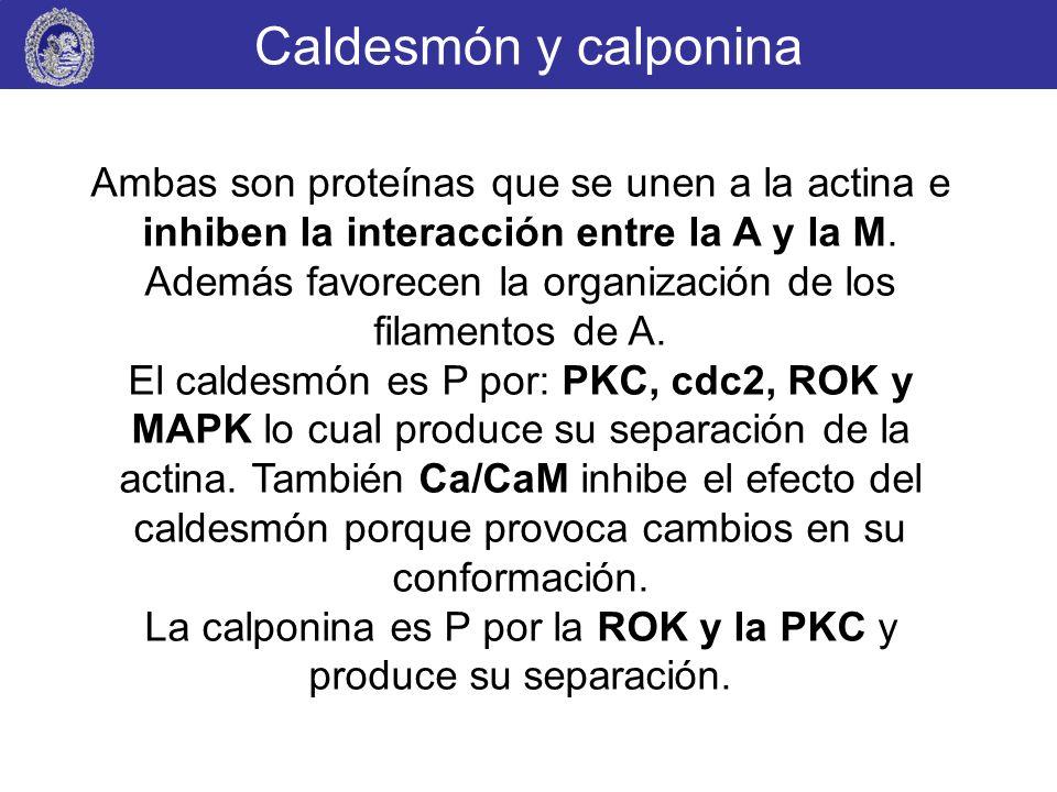 Caldesmón y calponina Ambas son proteínas que se unen a la actina e inhiben la interacción entre la A y la M. Además favorecen la organización de los