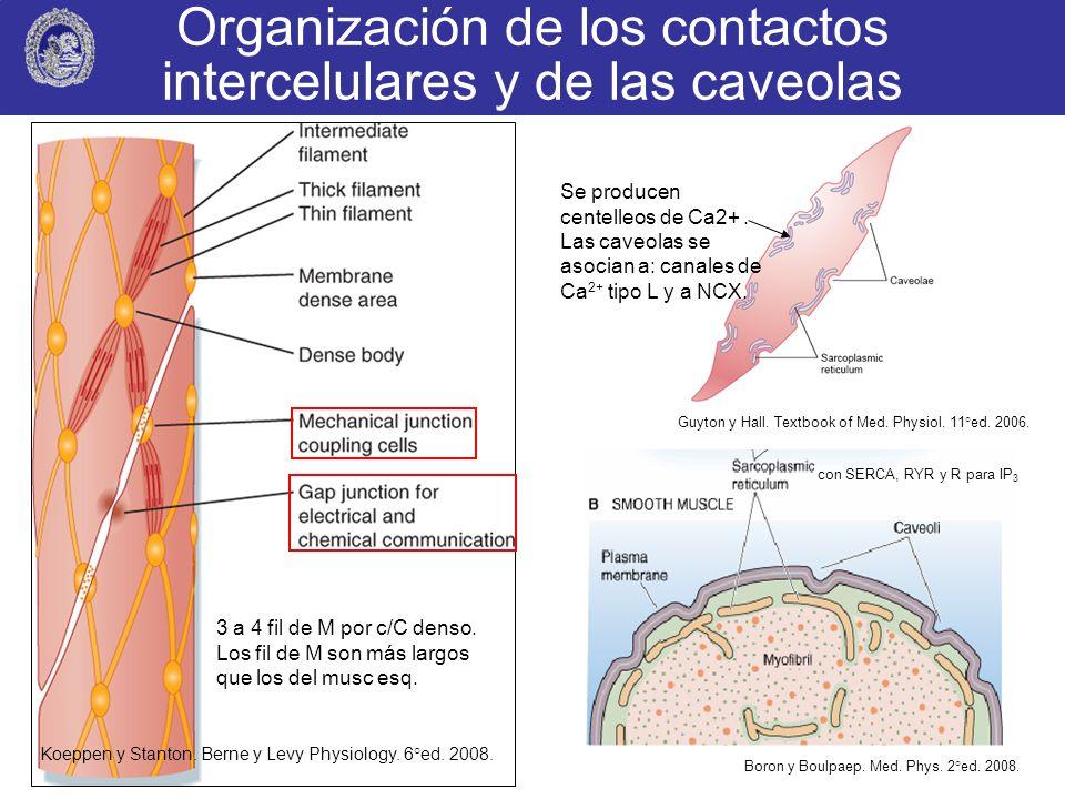 Organización de los contactos intercelulares y de las caveolas Boron y Boulpaep. Med. Phys. 2°ed. 2008. Guyton y Hall. Textbook of Med. Physiol. 11°ed