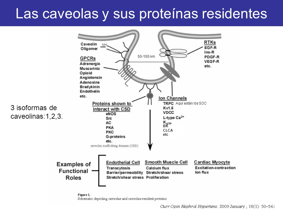 3 isoformas de caveolinas:1,2,3. 50-100 nm Aquí están los SOC Las caveolas y sus proteínas residentes NH 2 BK CLCA etc