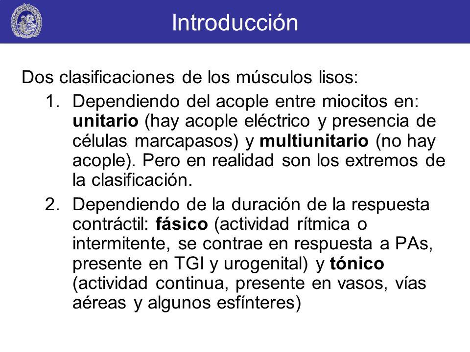 Introducción Dos clasificaciones de los músculos lisos: 1.Dependiendo del acople entre miocitos en: unitario (hay acople eléctrico y presencia de célu